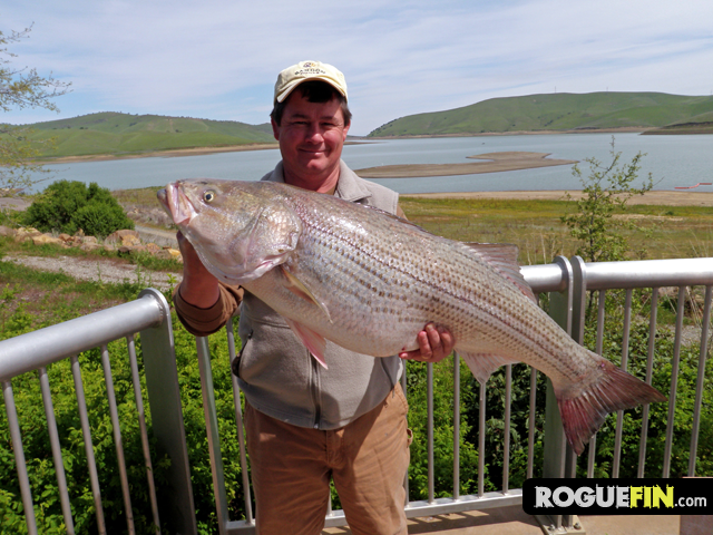 34lb striped bass caught at los vaqueros reservoir