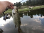 Striped Bass at a Golf Course